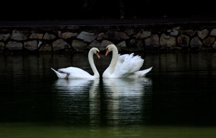 swans_monogamy_love